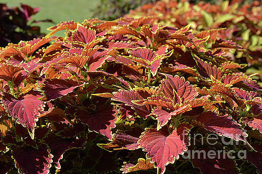 Coleus Plants 2 by Ruth Housley