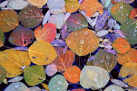 Collage of Aspen Leaves at McGee Creek in the Eastern Sierras by Jetson Nguyen