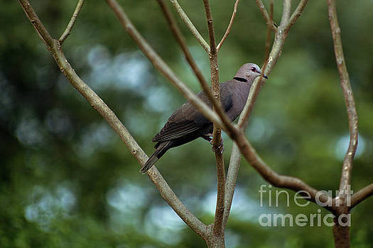Collared Dove by Morris Keyonzo
