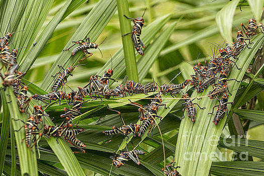 Patricia Hofmeester - Collared Lubber Grasshoppers