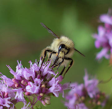 Bee Collecting Pollen by Marilyn Wilson