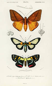 Collection of moths by Charles Dessalines D' Orbigny