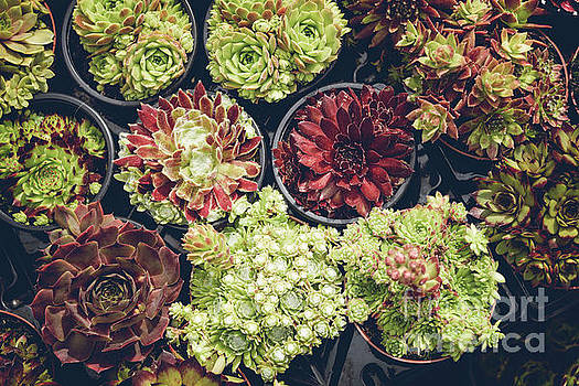 Sophie McAulay - Collection of potted succulents