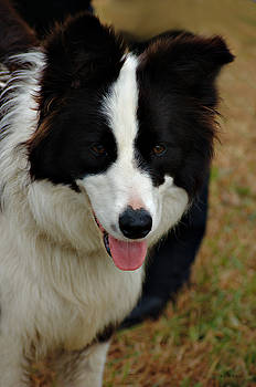 Cheryl Hall - Collie