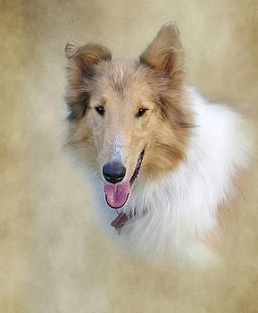 Collie Portrait by Stephanie Calhoun