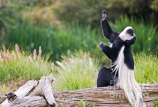 Colobus Monkey Praying by Christy Woodrow