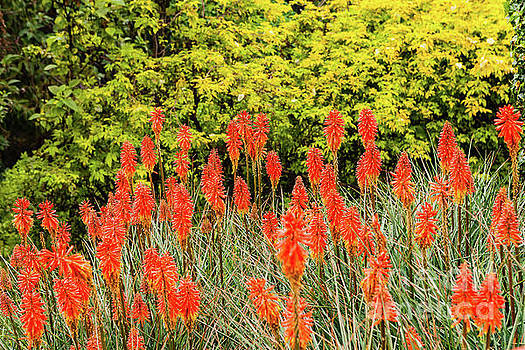 Colombia - Red Hot Poker on the Andes Mountains by Devasahayam Chandra Dhas