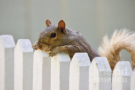 Colonial Squirrel Looking Over a Fence by Rachel Morrison