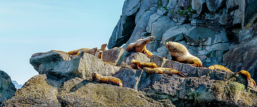 Colony of Sea Lions by Kyle Lavey