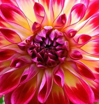 Color burst Dahlia  by Suzanne McDonald
