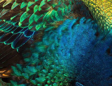 Cynthia Traun - Color Me Peacock