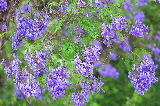 Color Purple - Jacaranda in bloom by Ram Vasudev