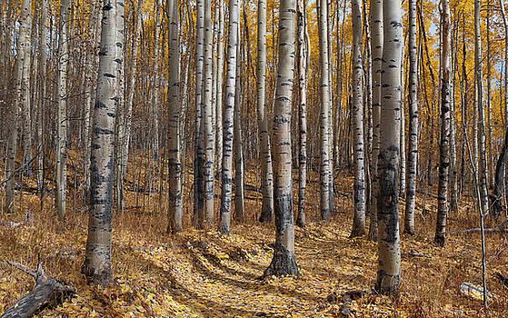 Colorado Autumn Aspen Forest Beauty by Cascade Colors