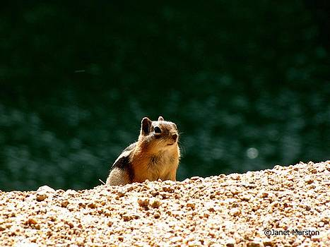 Colorado Chipmunk by Janet Marston