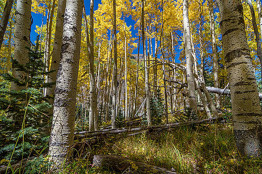 Colorado Fall Hike in the Aspens by Michael J Bauer