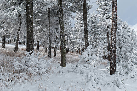 Colorado Foothills Winter Forest by Cascade Colors