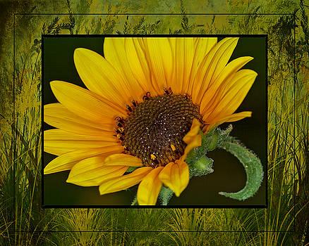 Colorado Sunflower by Janice Bennett