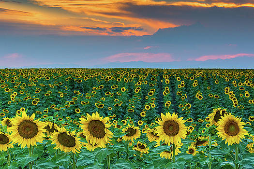 John De Bord - Colorado Sunflowers and Sunset