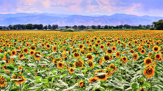 Colorado Sunflowers by James O Thompson