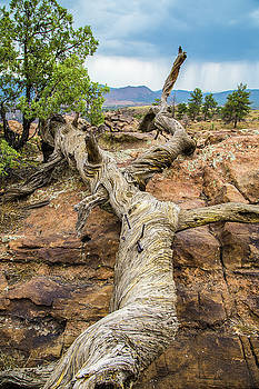 Colorado Twisted Pine by Steven Bateson