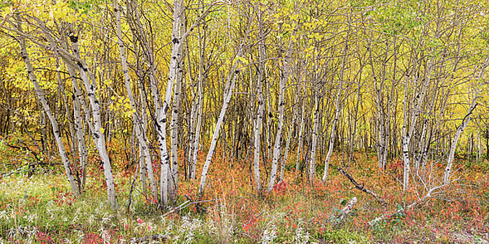 Colorful Aspen Tree Forest Bed Panorama View by James BO Insogna