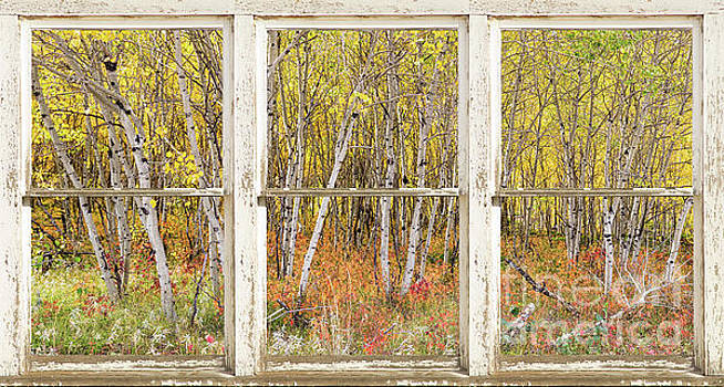Colorful Aspen Tree Forest White Rustic Panorama Window View by James BO Insogna