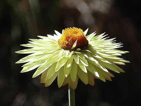 Colorful Australian Daisy by Margaret Saheed