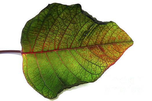 Colorful autumn leaf on white background by Eva-Maria Di Bella