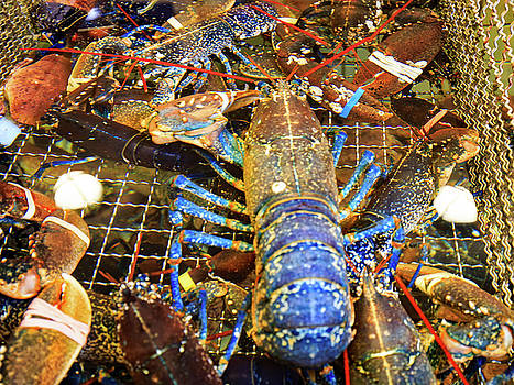 Colorful Blue Lobster by Allan Levin