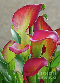 Colorful Calla Lillies by Larry Nieland