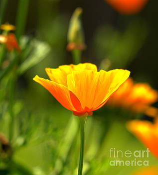 Mexican Gold Poppy by Candy Frangella