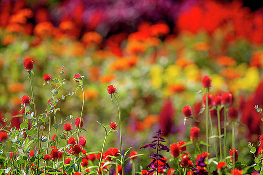 Colorful Field of Flowers by Mason Resnick