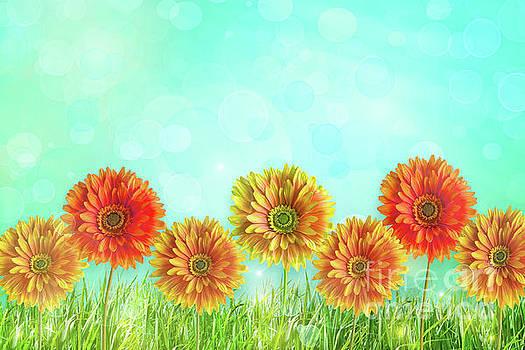 Sandra Cunningham - Colorful gerbers flowers