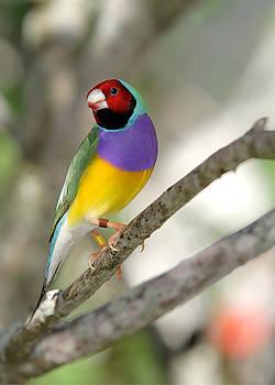 Sabrina L Ryan - Colorful Gouldian Finch