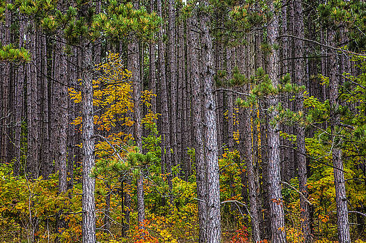 Randall Nyhof - Colorful Leaves of Small Trees among a Grove of Pines