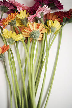 Colorful Long Stemmed Gerbera Daisies by Di Kerpan