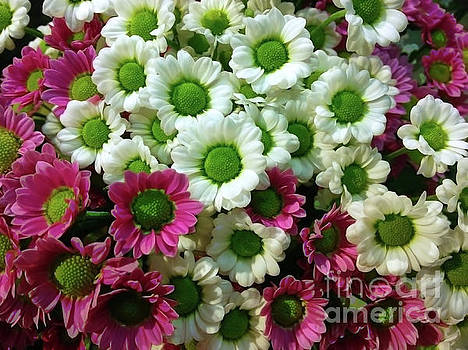 Colorful Mums 3 by Jasna Dragun