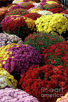 Colorful Mums by John  Mitchell