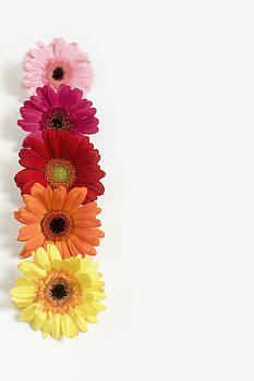 Colorful Row of Gerbera Daisies by Di Kerpan