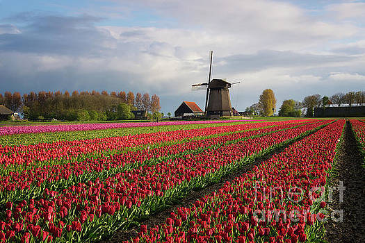 Colorful rows of tulips in front of a windmill by IPics Photography