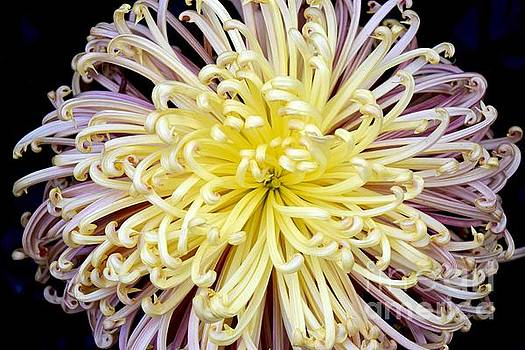 Colorful Spider Chrysanthemum   by Jeannie Rhode
