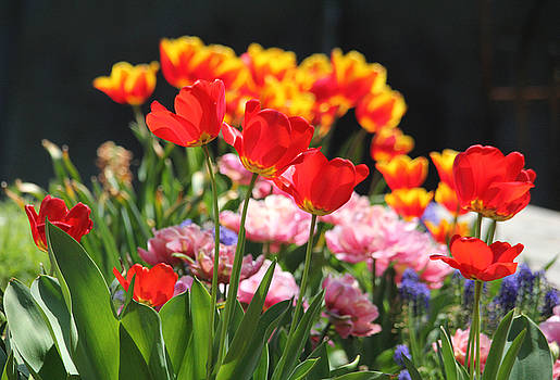 Colorful Tulip Garden by Trina Ansel