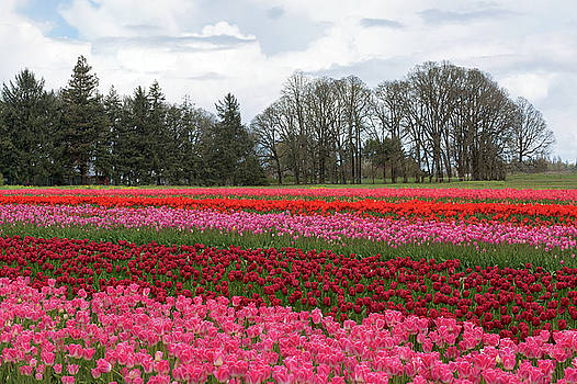Colorful Tulips Blooming at Tulip Festival by David Gn
