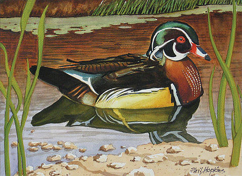 Colorful Wood Duck by Phil Hopkins
