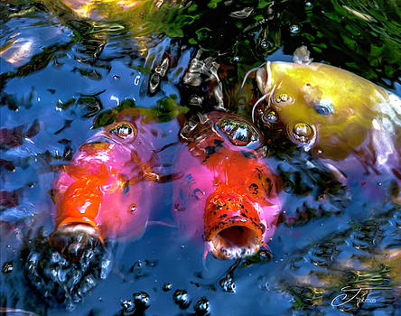 Colors of Koi by J Thomas