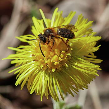 Coltsfoot with a bee by Jouko Lehto