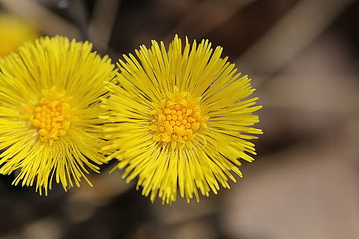 Coltsfoot,wildflower 2 by David Hand