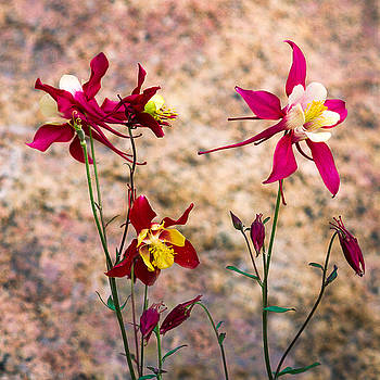 Colubine Flowers with Stone Background by John Brink