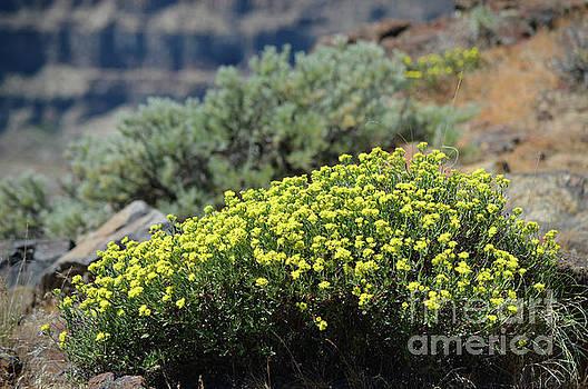 Columbia River Ridge Blooms  by Carol Eliassen