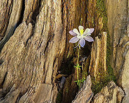 Columbine Deep in the Woods by Lois Lake